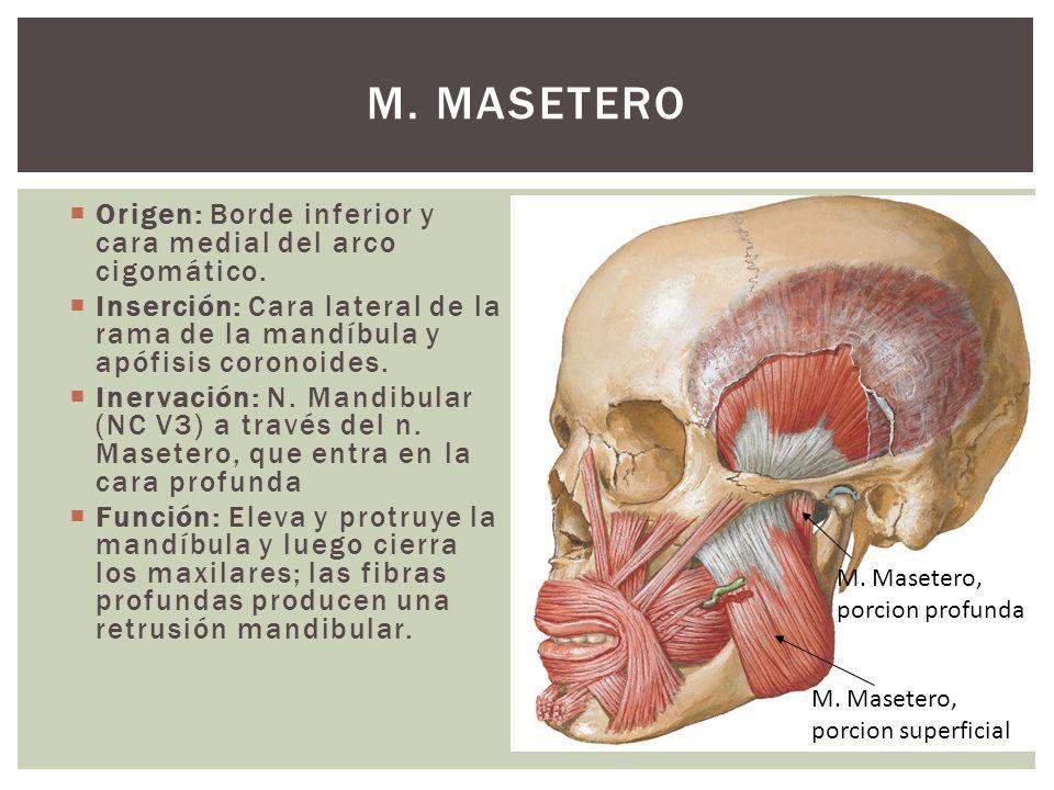 Origen: Borde inferior y cara medial del arco cigomático. Inserción: Cara lateral de la rama de la mandíbula y apófisis coronoides. Inervación: N. Man