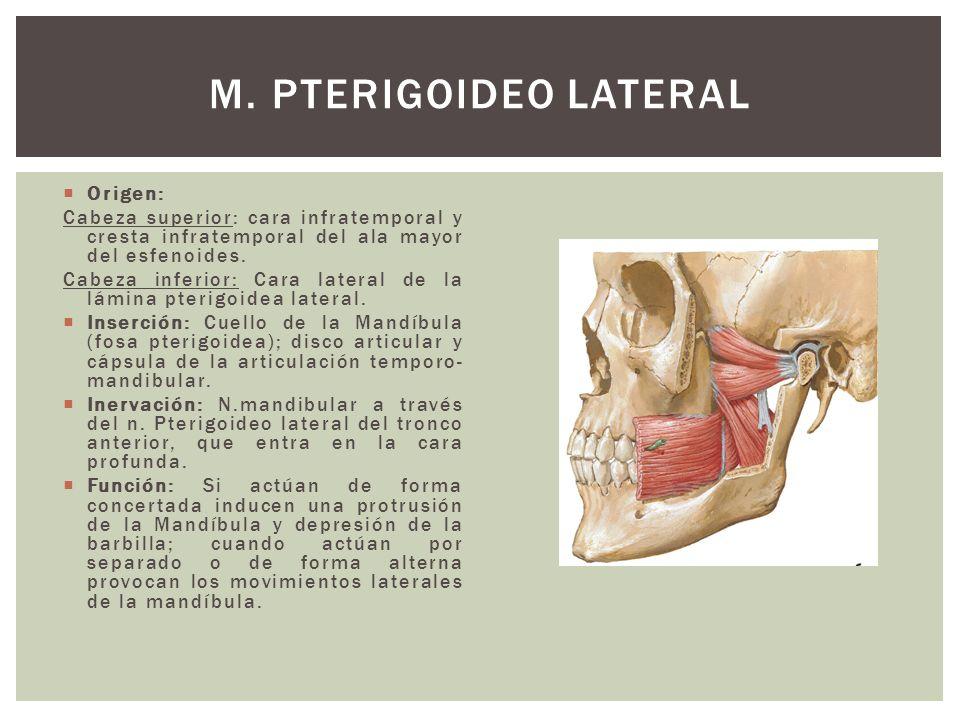 Origen: Cabeza superior: cara infratemporal y cresta infratemporal del ala mayor del esfenoides. Cabeza inferior: Cara lateral de la lámina pterigoide