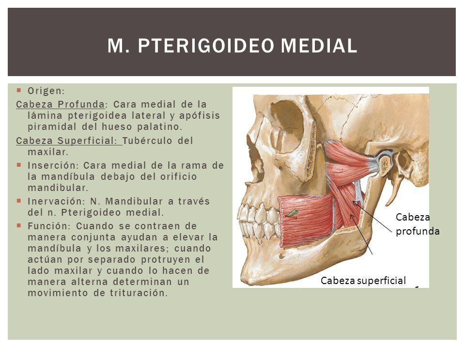 Origen: Cabeza Profunda: Cara medial de la lámina pterigoidea lateral y apófisis piramidal del hueso palatino. Cabeza Superficial: Tubérculo del maxil