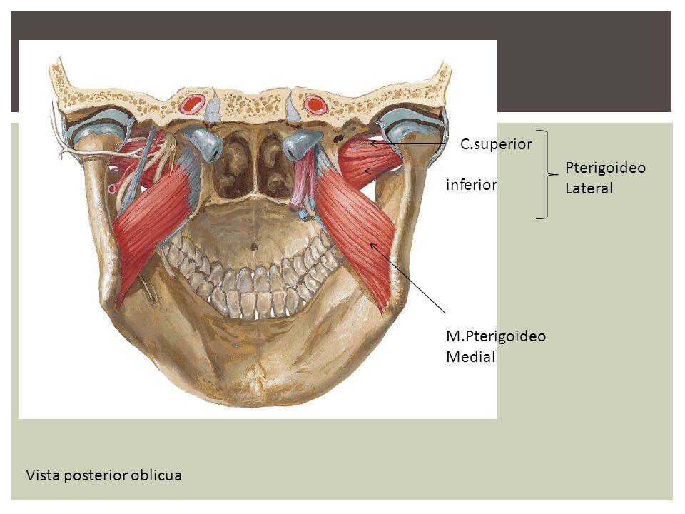 M.Pterigoideo Medial Pterigoideo Lateral Vista posterior oblicua C.superior inferior