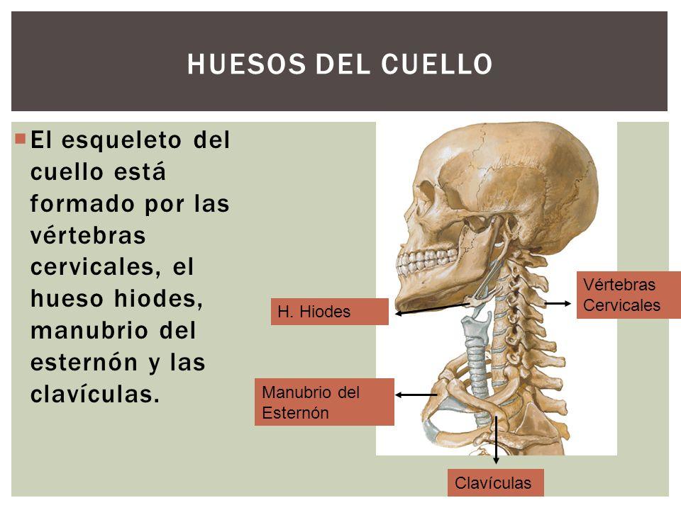 HUESOS DEL CUELLO El esqueleto del cuello está formado por las vértebras cervicales, el hueso hiodes, manubrio del esternón y las clavículas. Vértebra
