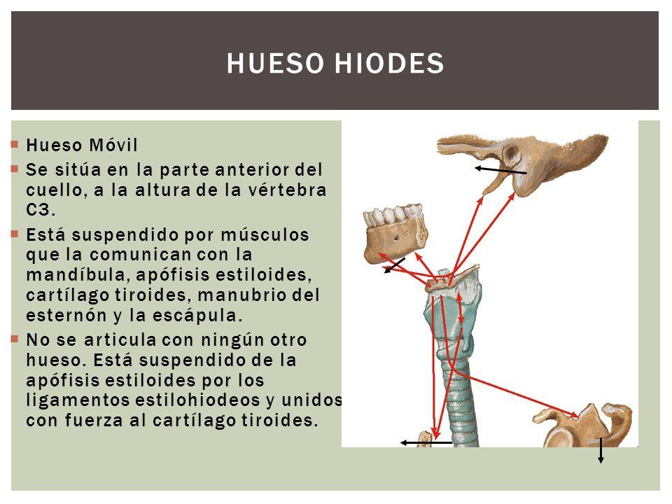 HUESO HIODES Hueso Móvil Se sitúa en la parte anterior del cuello, a la altura de la vértebra C3. Está suspendido por músculos que la comunican con la