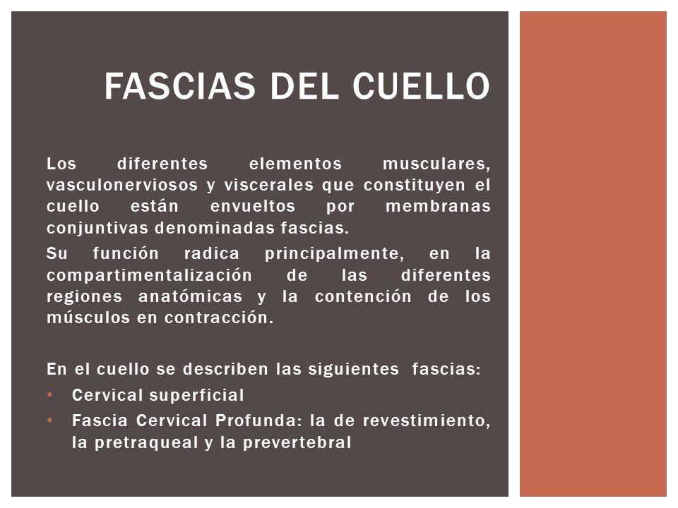 Los diferentes elementos musculares, vasculonerviosos y viscerales que constituyen el cuello están envueltos por membranas conjuntivas denominadas fas