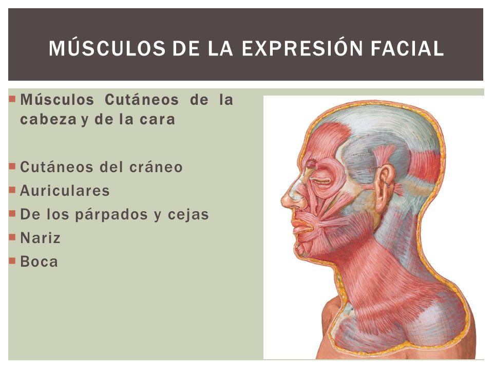 Músculo Occipitofrontal Vientre occipital: se inserta detrás de la línea nucal superior y de la apófisis mastoides.