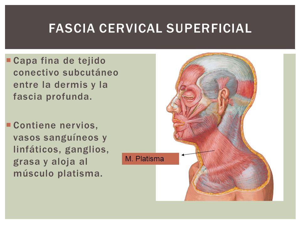 FASCIA CERVICAL SUPERFICIAL Capa fina de tejido conectivo subcutáneo entre la dermis y la fascia profunda. Contiene nervios, vasos sanguíneos y linfát