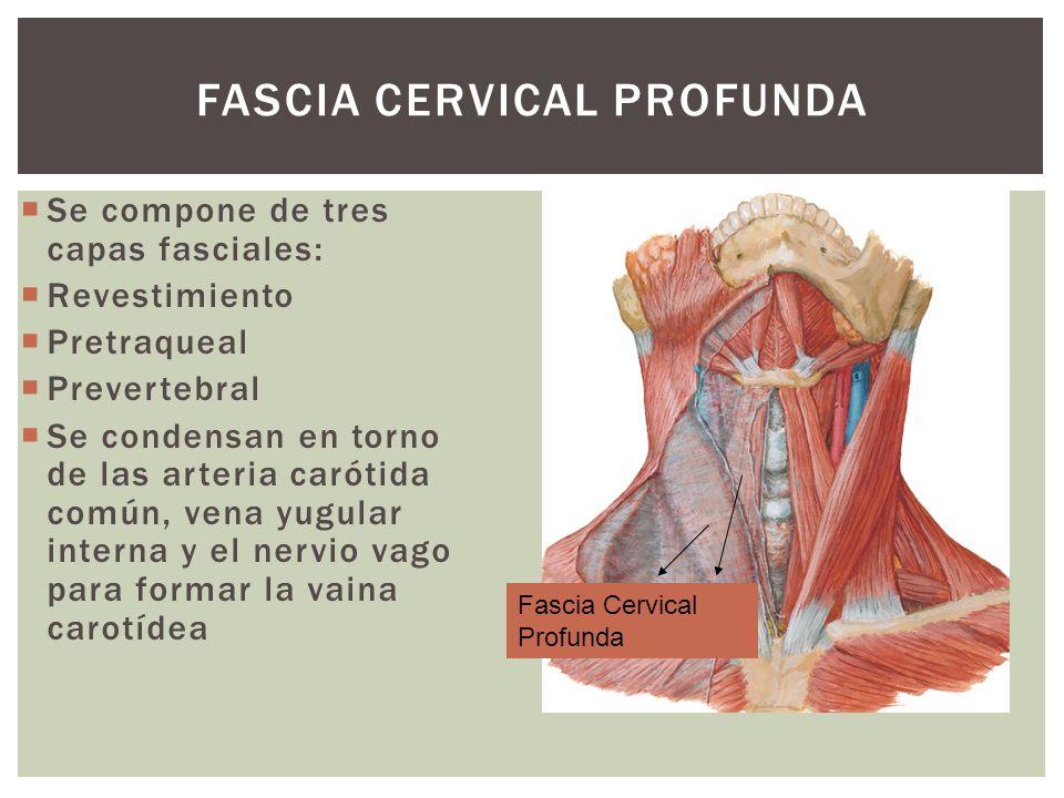 FASCIA CERVICAL PROFUNDA Se compone de tres capas fasciales: Revestimiento Pretraqueal Prevertebral Se condensan en torno de las arteria carótida comú