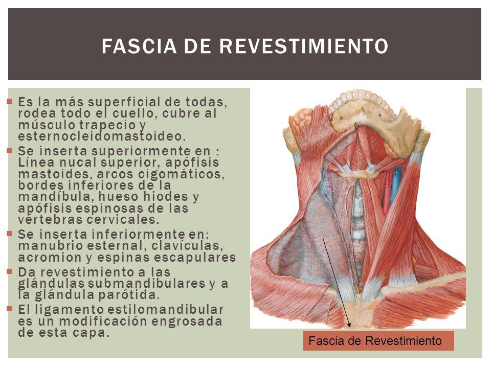 FASCIA DE REVESTIMIENTO Es la más superficial de todas, rodea todo el cuello, cubre al músculo trapecio y esternocleidomastoideo. Se inserta superiorm