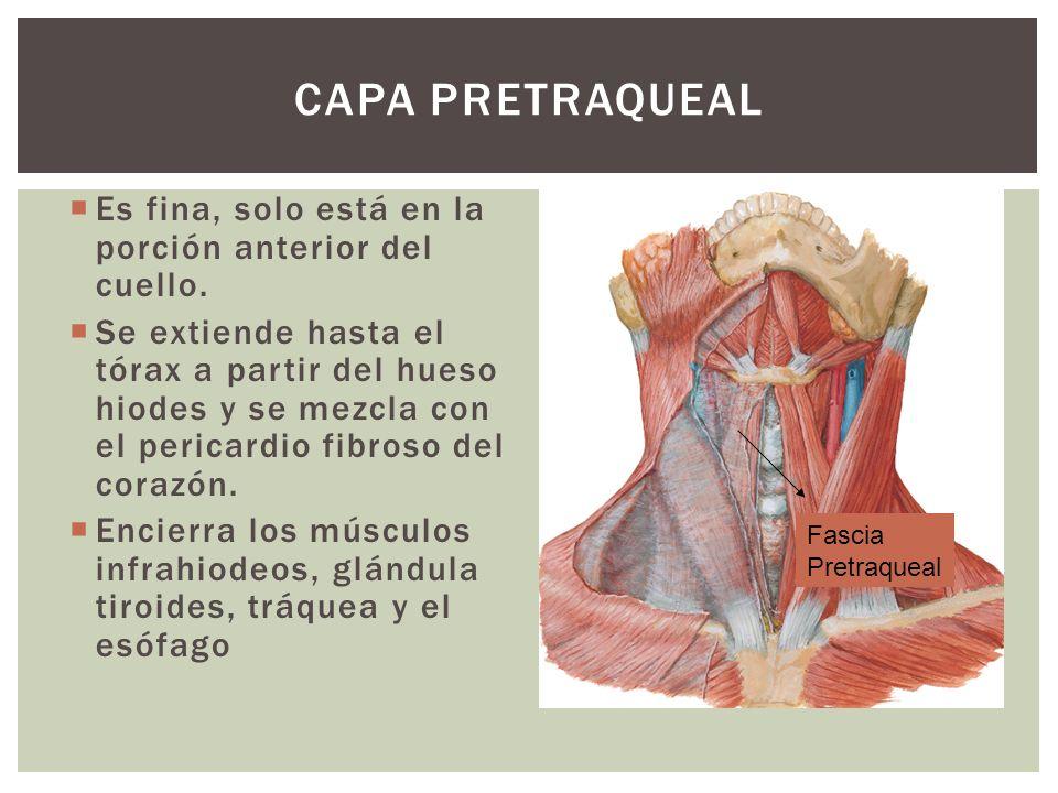 CAPA PRETRAQUEAL Es fina, solo está en la porción anterior del cuello. Se extiende hasta el tórax a partir del hueso hiodes y se mezcla con el pericar