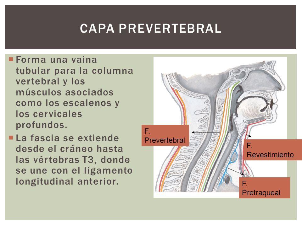 CAPA PREVERTEBRAL Forma una vaina tubular para la columna vertebral y los músculos asociados como los escalenos y los cervicales profundos. La fascia