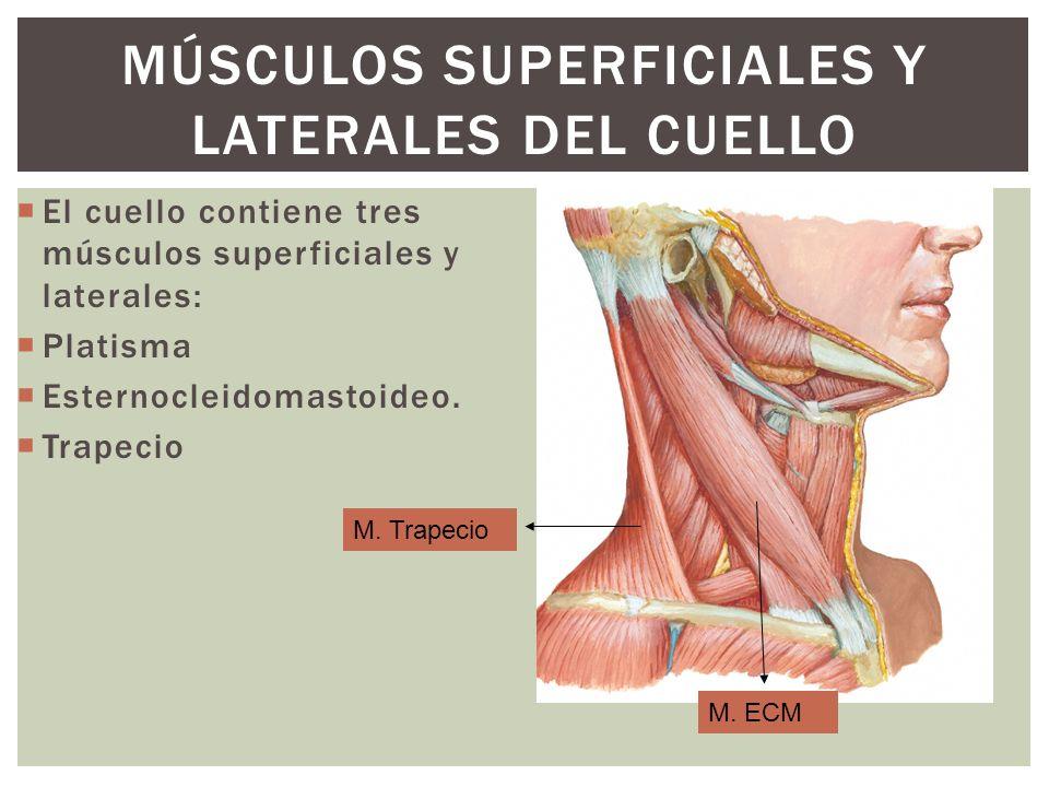 MÚSCULOS SUPERFICIALES Y LATERALES DEL CUELLO El cuello contiene tres músculos superficiales y laterales: Platisma Esternocleidomastoideo. Trapecio M.