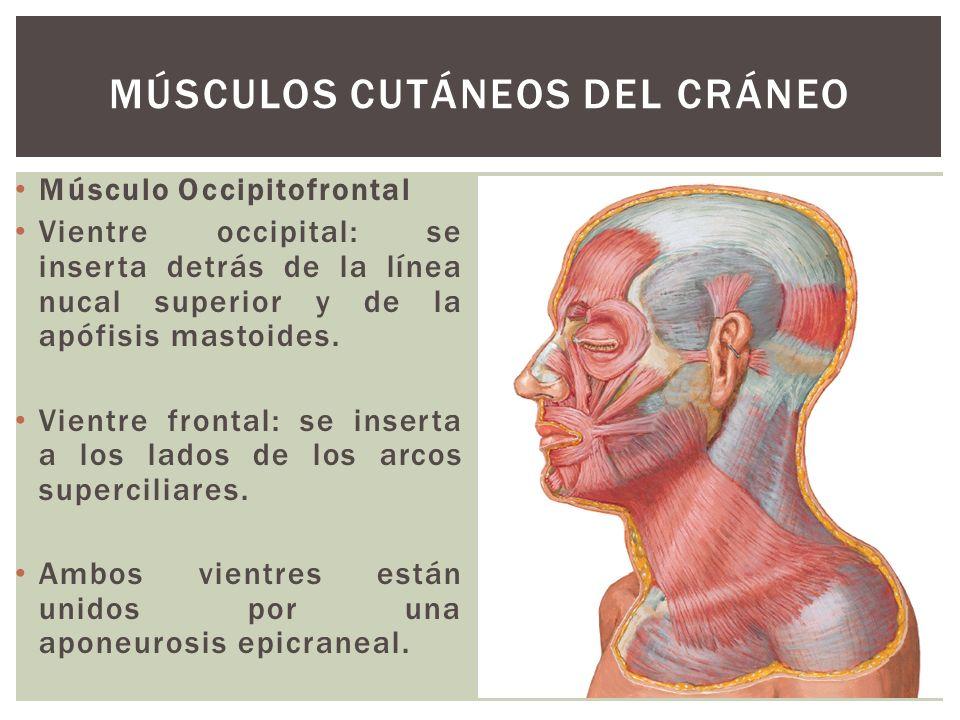 Músculo Occipitofrontal Vientre occipital: se inserta detrás de la línea nucal superior y de la apófisis mastoides. Vientre frontal: se inserta a los