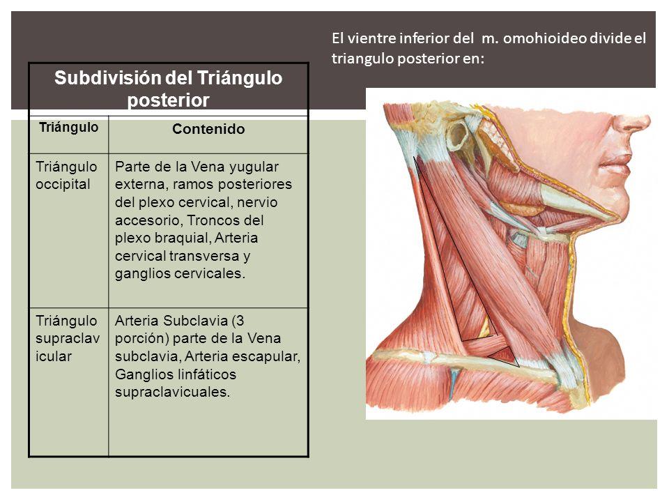 Subdivisión del Triángulo posterior Triángulo Contenido Triángulo occipital Parte de la Vena yugular externa, ramos posteriores del plexo cervical, ne