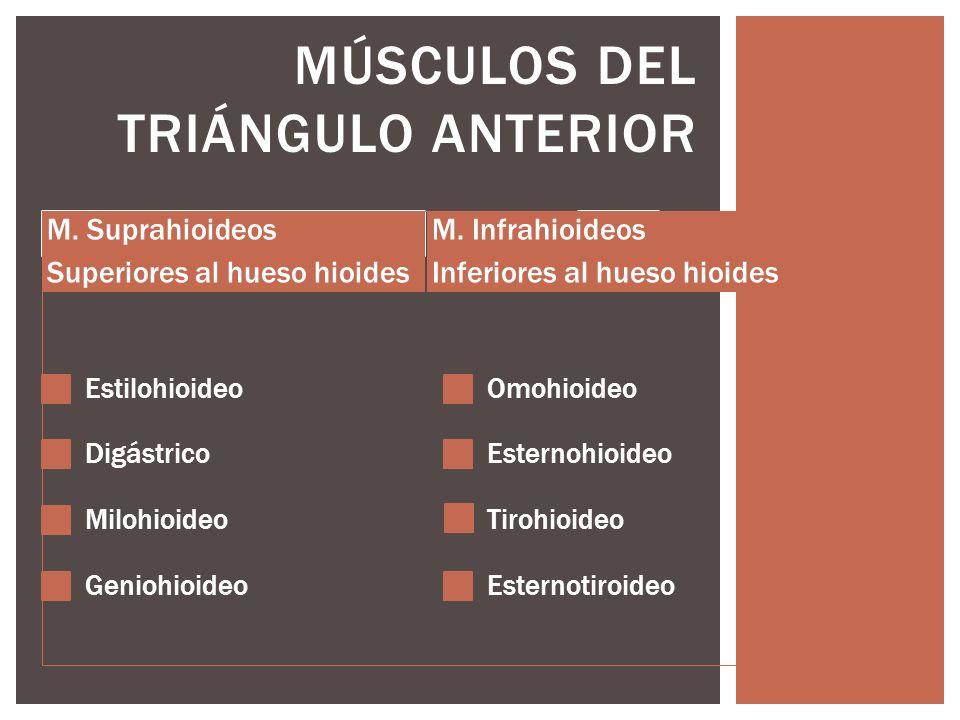 MÚSCULOS DEL TRIÁNGULO ANTERIOR M. Suprahioideos Superiores al hueso hioides Estilohioideo Digástrico Milohioideo Geniohioideo M. Infrahioideos Inferi