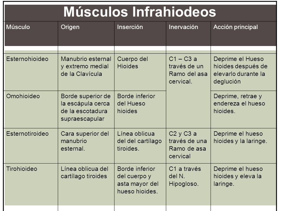 Músculos Infrahiodeos MúsculoOrigenInserciónInervaciónAcción principal EsternohioideoManubrio esternal y extremo medial de la Clavícula Cuerpo del Hio