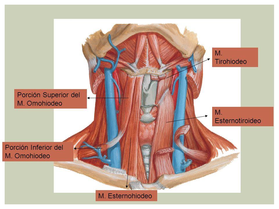 Porción Superior del M. Omohiodeo Porción Inferior del M. Omohiodeo M. Esternohiodeo M. Esternotiroideo M. Tirohiodeo