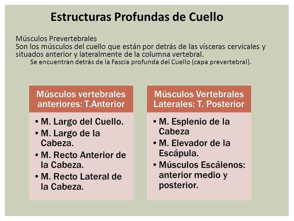 Estructuras Profundas de Cuello Músculos Prevertebrales Son los músculos del cuello que están por detrás de las vísceras cervicales y situados anterio