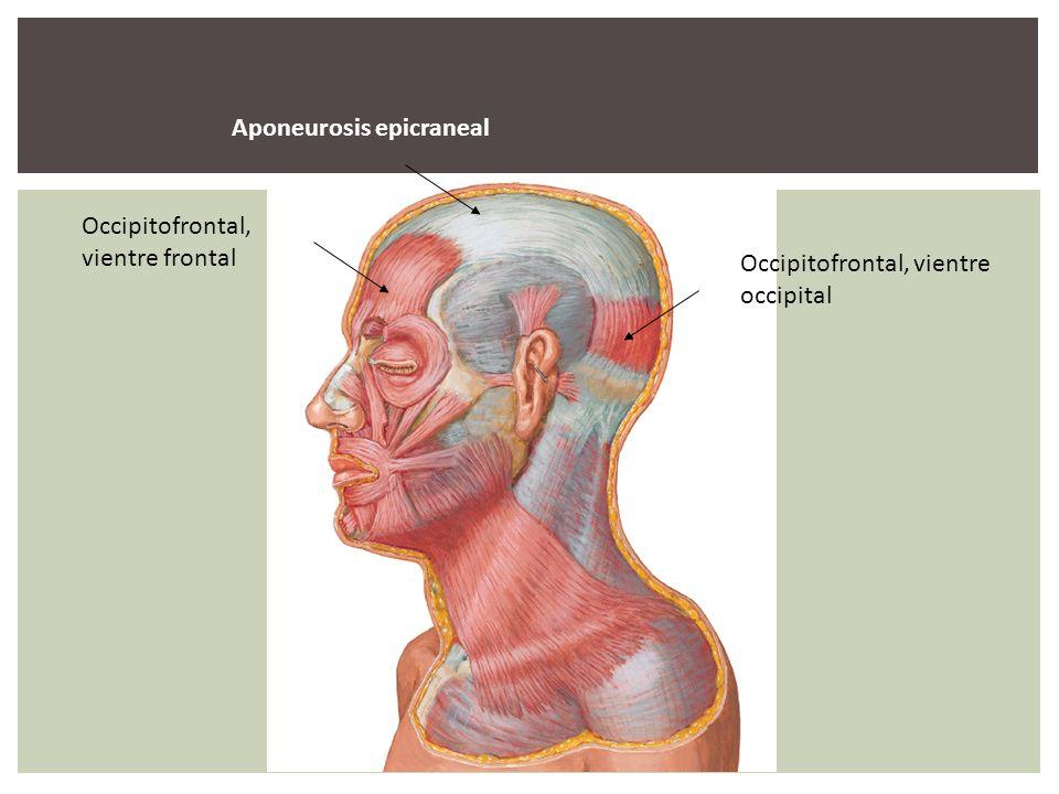 Aponeurosis epicraneal Occipitofrontal, vientre frontal Occipitofrontal, vientre occipital