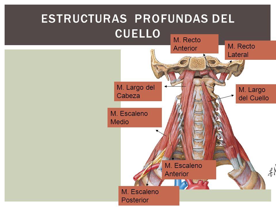 ESTRUCTURAS PROFUNDAS DEL CUELLO M. Largo del Cabeza M. Largo del Cuello M. Recto Anterior M. Recto Lateral M. Escaleno Anterior M. Escaleno Medio M.