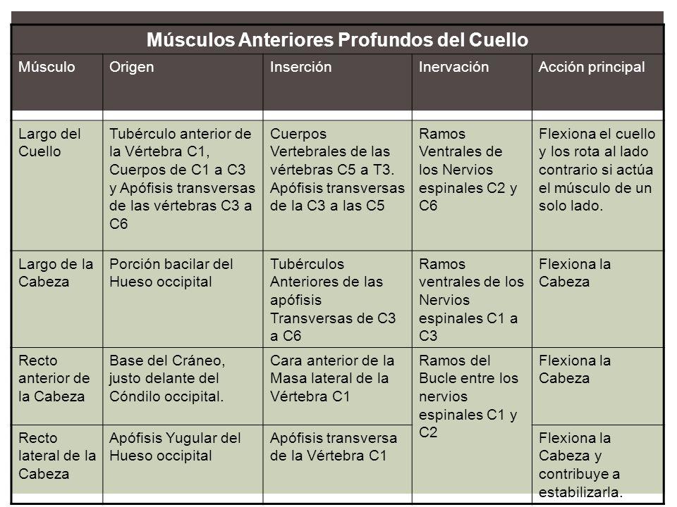 Músculos Anteriores Profundos del Cuello MúsculoOrigenInserciónInervaciónAcción principal Largo del Cuello Tubérculo anterior de la Vértebra C1, Cuerp