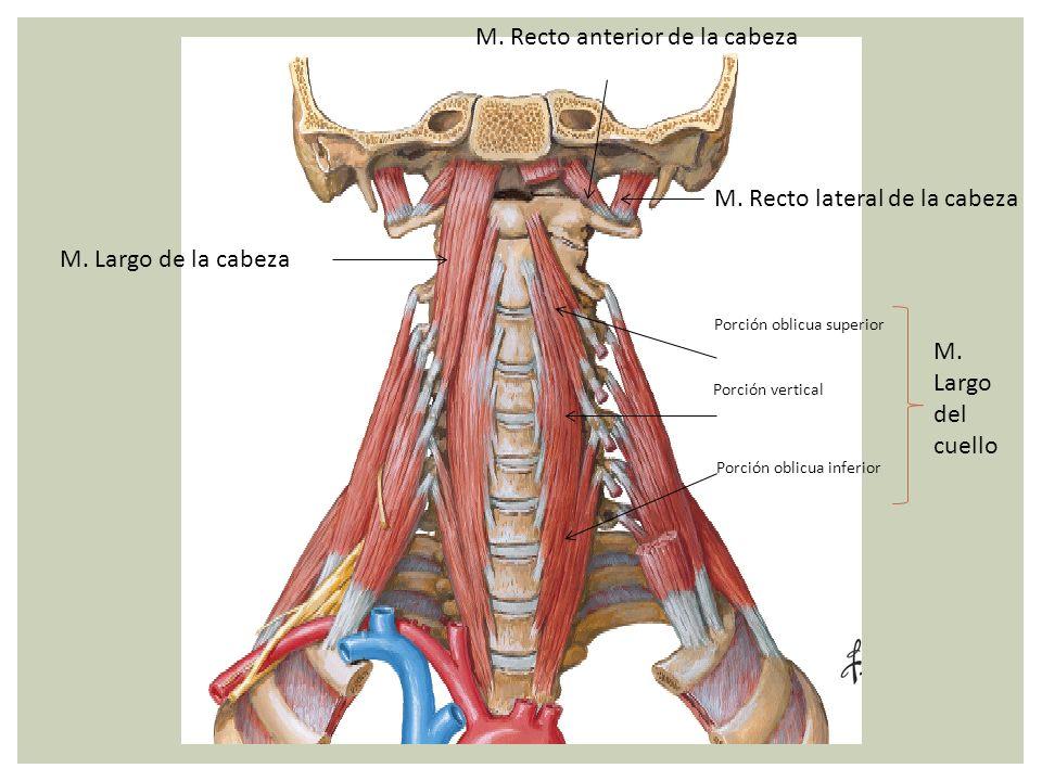 M. Recto anterior de la cabeza M. Recto lateral de la cabeza M. Largo de la cabeza Porción oblicua superior Porción vertical Porción oblicua inferior