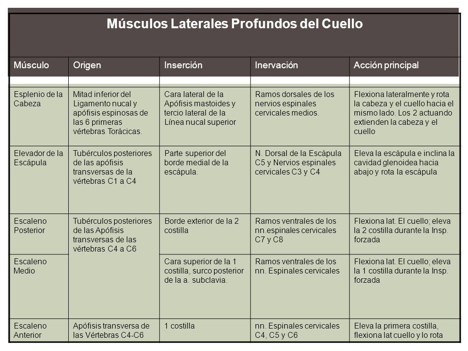 Músculos Laterales Profundos del Cuello MúsculoOrigenInserciónInervaciónAcción principal Esplenio de la Cabeza Mitad inferior del Ligamento nucal y ap