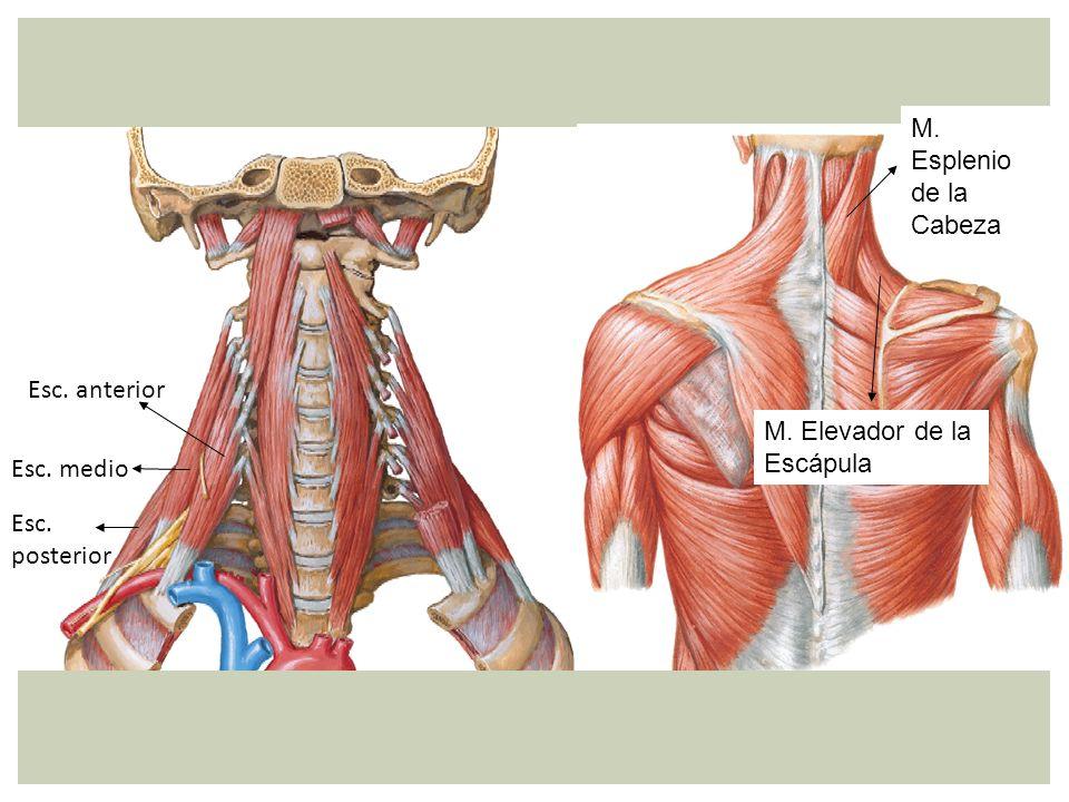 M. Esplenio de la Cabeza M. Elevador de la Escápula Esc. posterior Esc. medio Esc. anterior