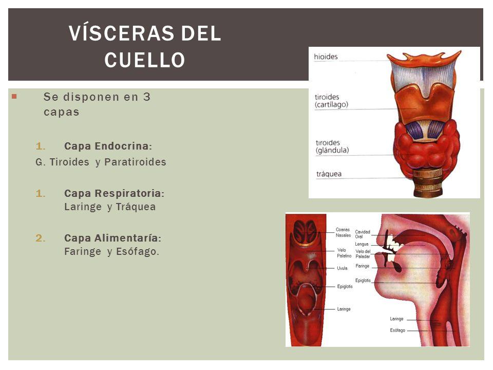 Se disponen en 3 capas 1.Capa Endocrina: G. Tiroides y Paratiroides 1.Capa Respiratoria: Laringe y Tráquea 2.Capa Alimentaría: Faringe y Esófago. VÍSC