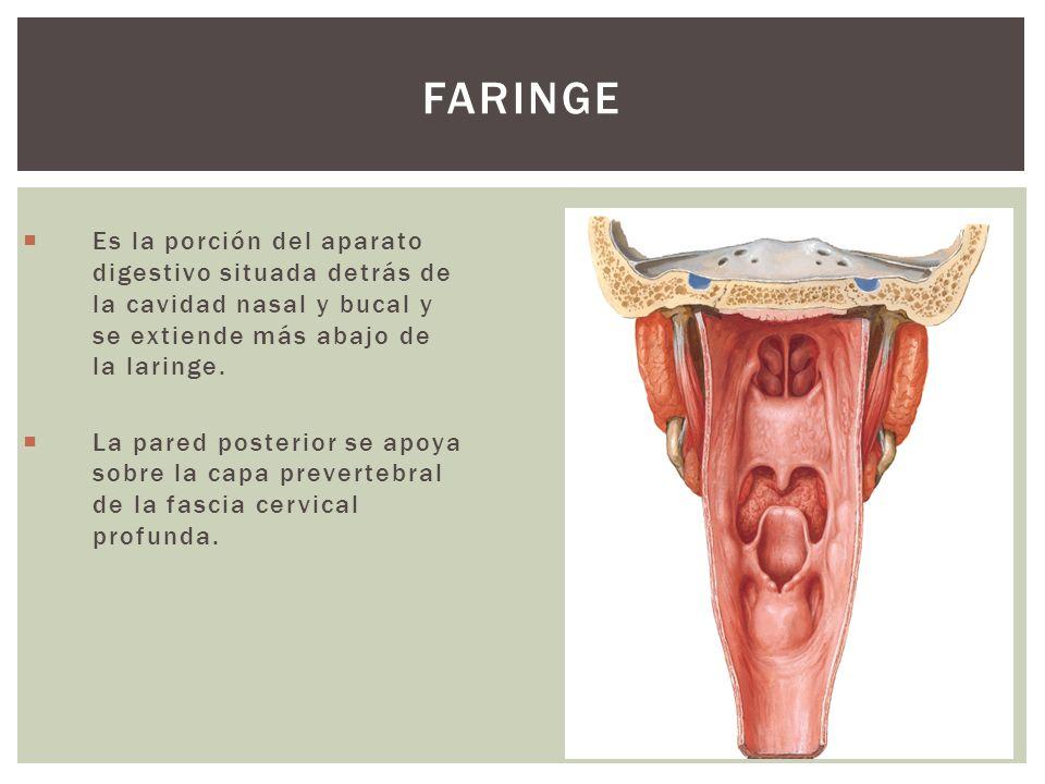 FARINGE Es la porción del aparato digestivo situada detrás de la cavidad nasal y bucal y se extiende más abajo de la laringe. La pared posterior se ap
