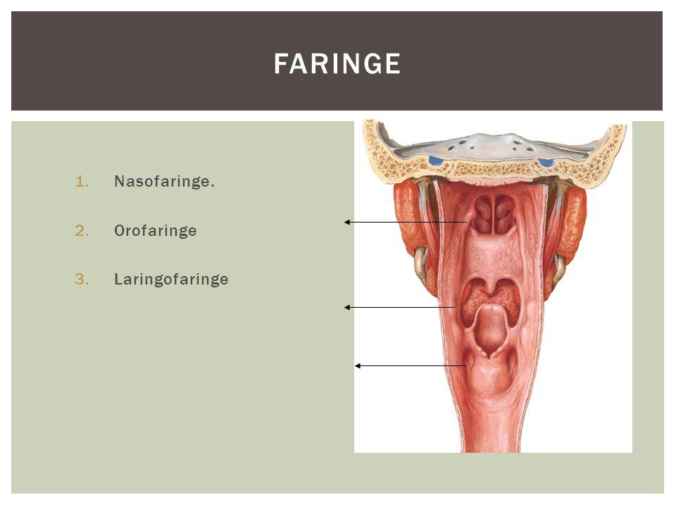 FARINGE 1.Nasofaringe. 2.Orofaringe 3.Laringofaringe