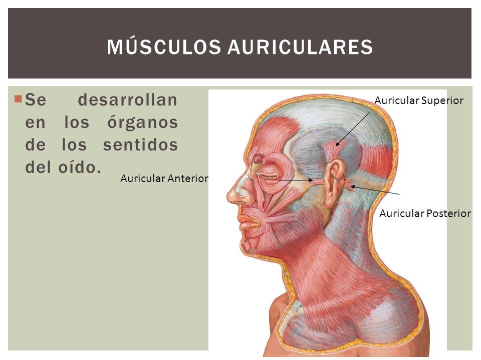Se desarrollan en los órganos de los sentidos del oído. MÚSCULOS AURICULARES Auricular Anterior Auricular Superior Auricular Posterior