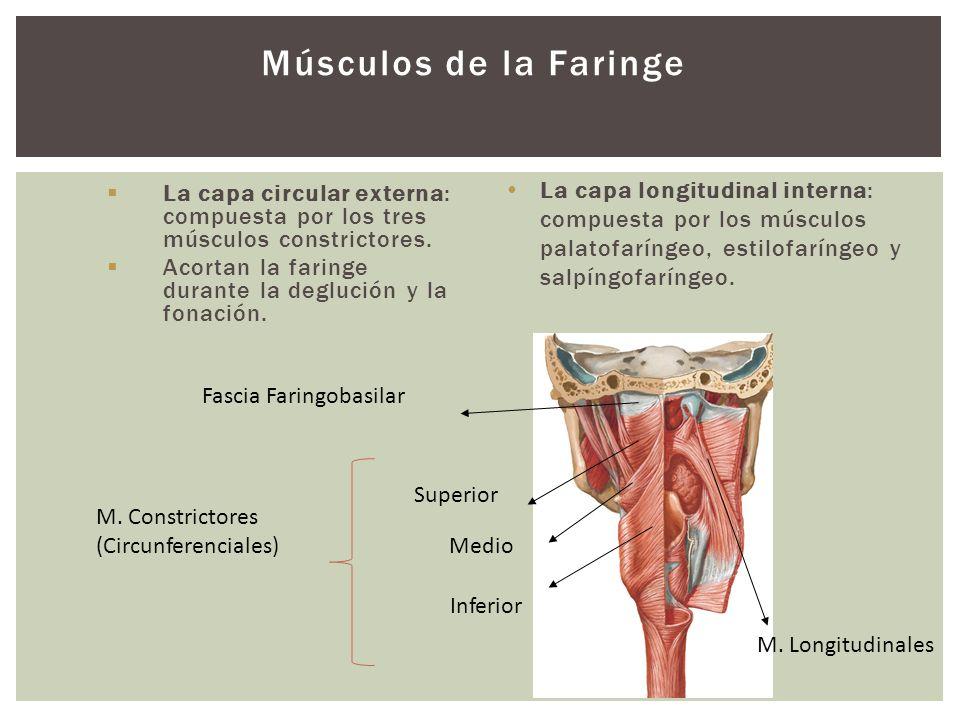 Músculos de la Faringe La capa circular externa: compuesta por los tres músculos constrictores. Acortan la faringe durante la deglución y la fonación.