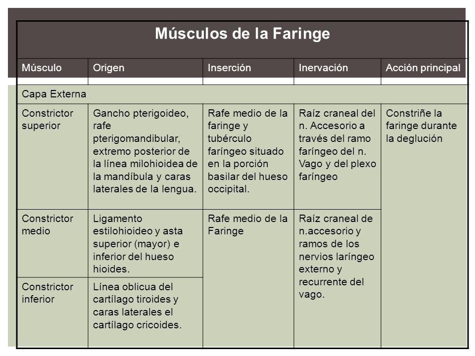 Músculos de la Faringe MúsculoOrigenInserciónInervaciónAcción principal Capa Externa Constrictor superior Gancho pterigoideo, rafe pterigomandibular,