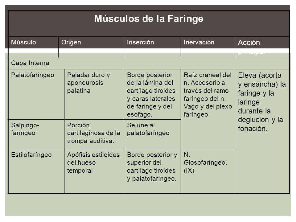 Músculos de la Faringe MúsculoOrigenInserciónInervación Acción principal Capa Interna PalatofaríngeoPaladar duro y aponeurosis palatina Borde posterio