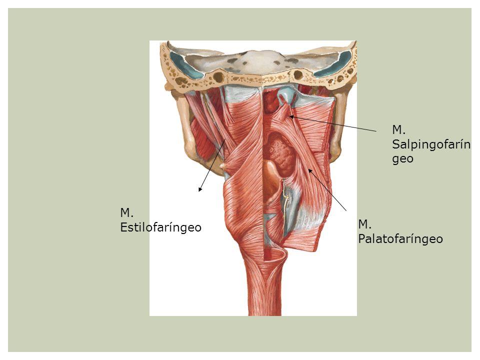 M. Salpingofarín geo M. Palatofaríngeo M. Estilofaríngeo
