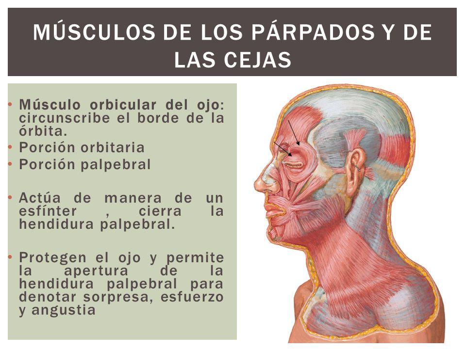 Se inserta en sentido medial sobre el hueso frontal.