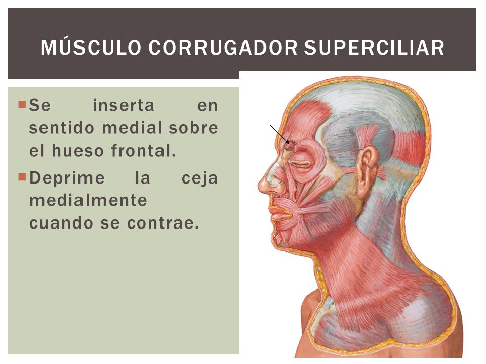 Se inserta en sentido medial sobre el hueso frontal. Deprime la ceja medialmente cuando se contrae. MÚSCULO CORRUGADOR SUPERCILIAR