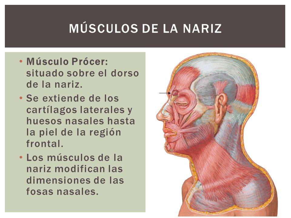 Músculo Prócer: situado sobre el dorso de la nariz. Se extiende de los cartílagos laterales y huesos nasales hasta la piel de la región frontal. Los m