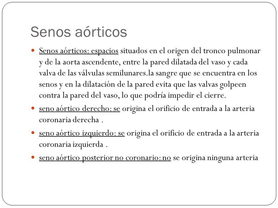 Senos aórticos Senos aórticos: espacios situados en el origen del tronco pulmonar y de la aorta ascendente, entre la pared dilatada del vaso y cada va