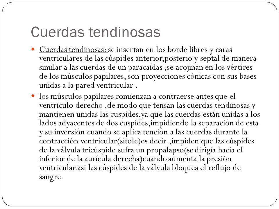 Cuerdas tendinosas Cuerdas tendinosas: se insertan en los borde libres y caras ventriculares de las cúspides anterior,posterio y septal de manera simi