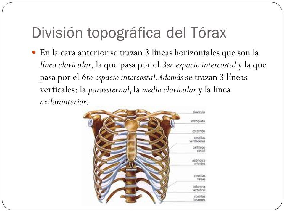 División topográfica del Tórax En la cara anterior se trazan 3 líneas horizontales que son la línea clavicular, la que pasa por el 3er. espacio interc