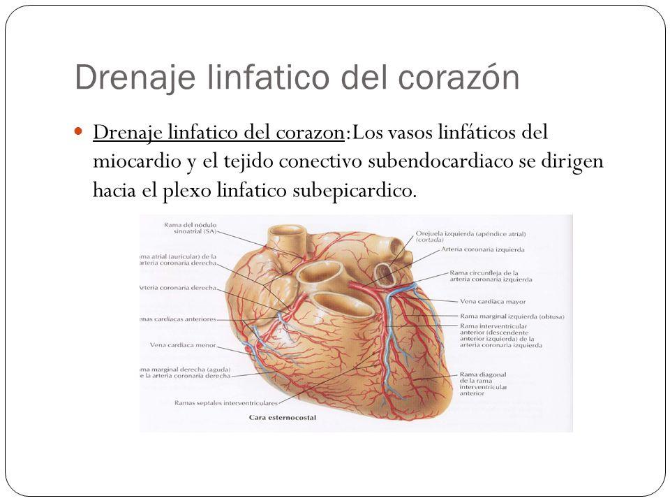 Drenaje linfatico del corazón Drenaje linfatico del corazon:Los vasos linfáticos del miocardio y el tejido conectivo subendocardiaco se dirigen hacia
