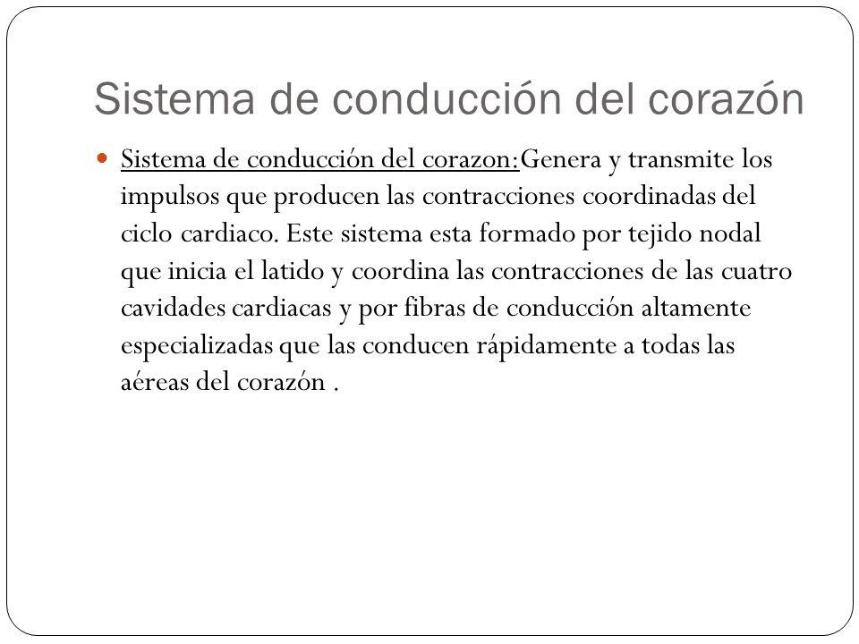 Sistema de conducción del corazón Sistema de conducción del corazon:Genera y transmite los impulsos que producen las contracciones coordinadas del cic
