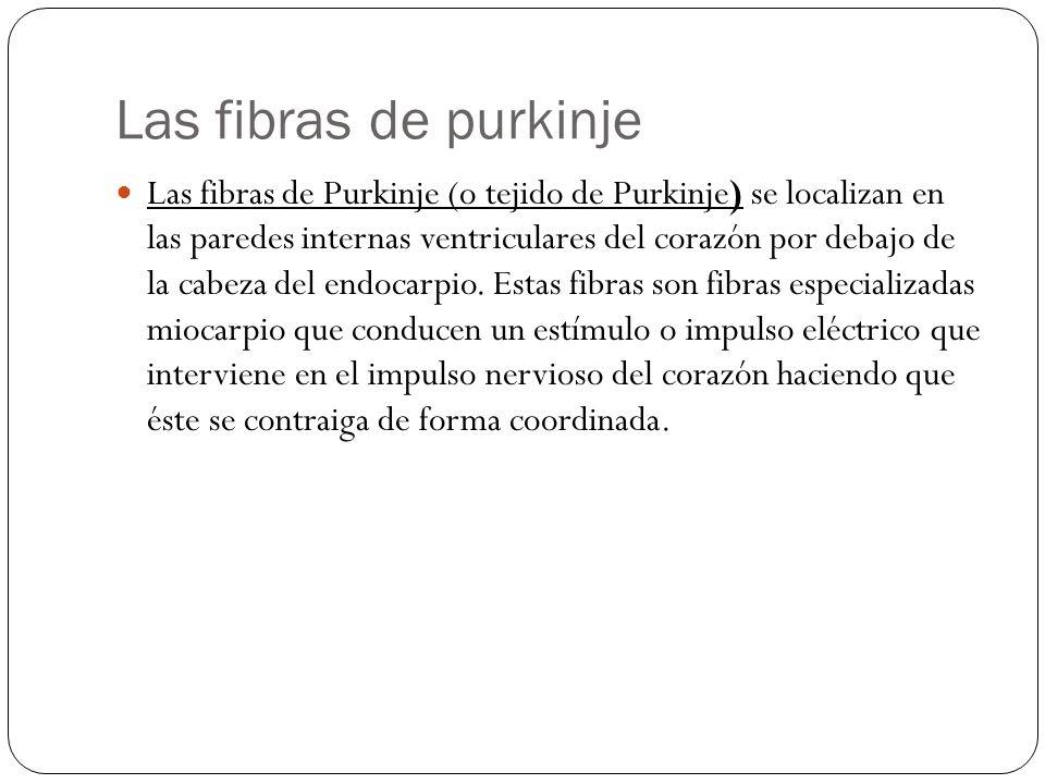 Las fibras de purkinje Las fibras de Purkinje (o tejido de Purkinje) se localizan en las paredes internas ventriculares del corazón por debajo de la c
