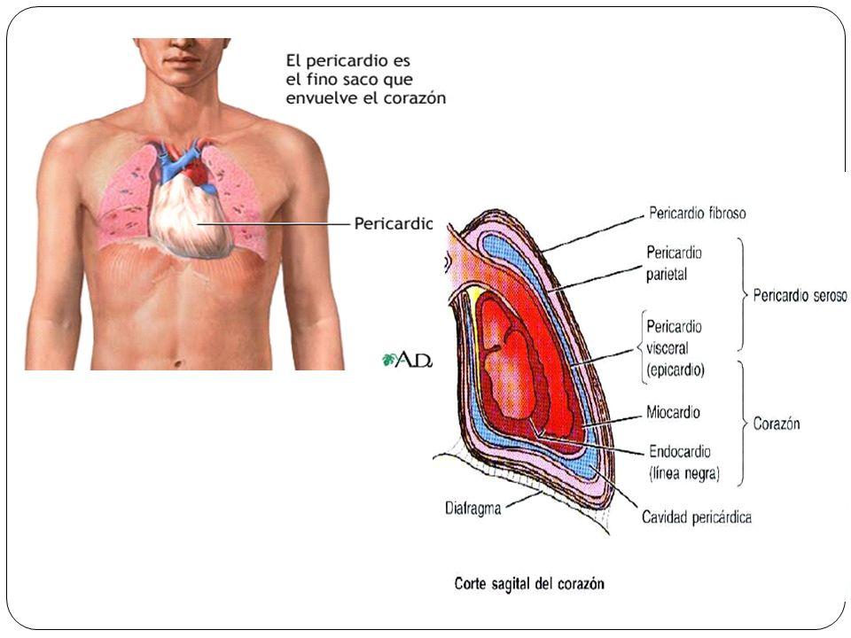 Capas de la pared de la cavidad cardiaca :Tres capas * 1-El endocardio: delgada capa interna (endotelio y tejido conectivo subendotelial) o membrana del revestimiento del corazón,que también cubre sus válvulas *2-El miocarpio:Una gruesa capa helicoidal, formada por el musculo cardiaco.