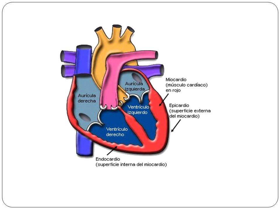 Válvula bicúspide o mitral Válvula bicúspide o mitral: tienen dos cúspides anterior y posterior,se localiza posterior al esternón al nivel del 4 cartílago costal.