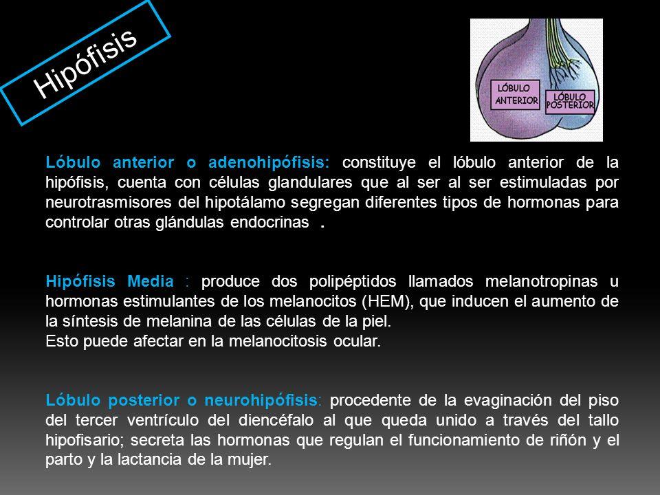 Hipófisis Lóbulo anterior o adenohipófisis: constituye el lóbulo anterior de la hipófisis, cuenta con células glandulares que al ser al ser estimulada