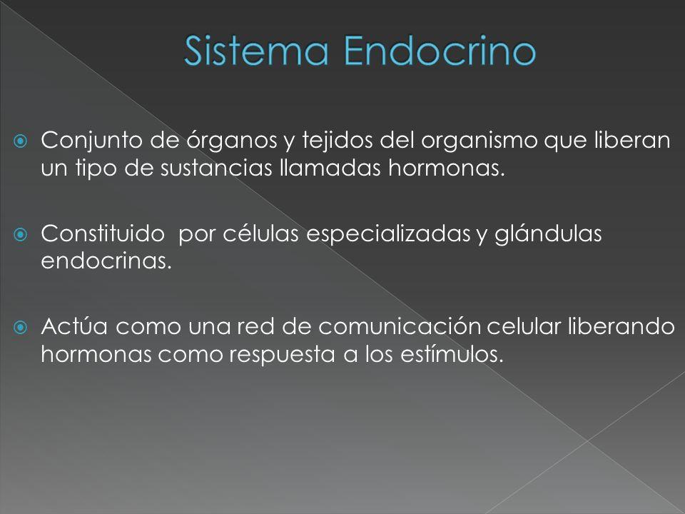 Hipófisis Lóbulo anterior o adenohipófisis: constituye el lóbulo anterior de la hipófisis, cuenta con células glandulares que al ser al ser estimuladas por neurotrasmisores del hipotálamo segregan diferentes tipos de hormonas para controlar otras glándulas endocrinas.