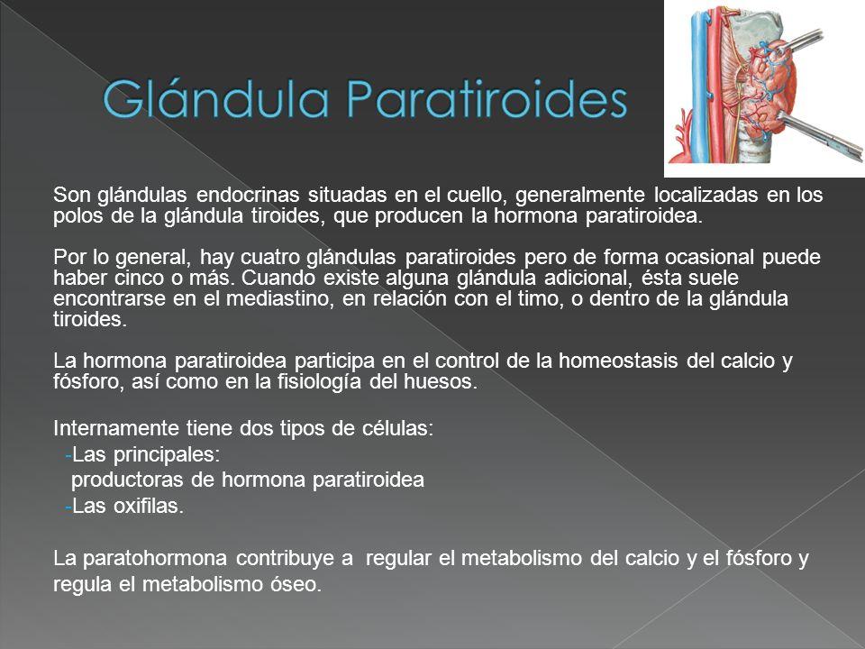 Son glándulas endocrinas situadas en el cuello, generalmente localizadas en los polos de la glándula tiroides, que producen la hormona paratiroidea. P