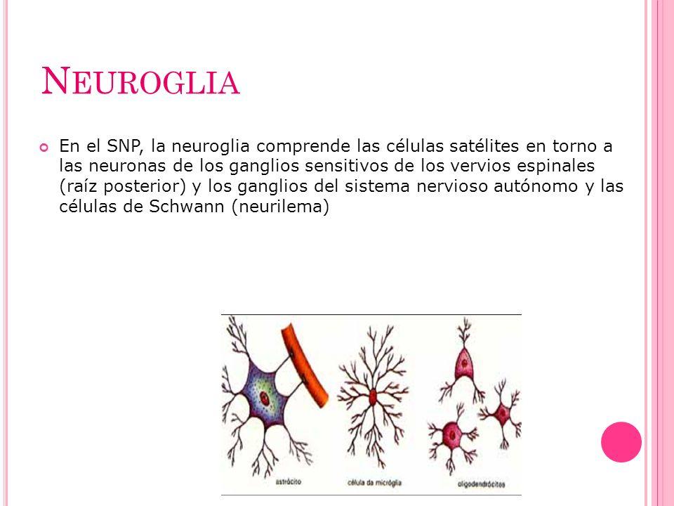 N EUROGLIA En el SNP, la neuroglia comprende las células satélites en torno a las neuronas de los ganglios sensitivos de los vervios espinales (raíz p