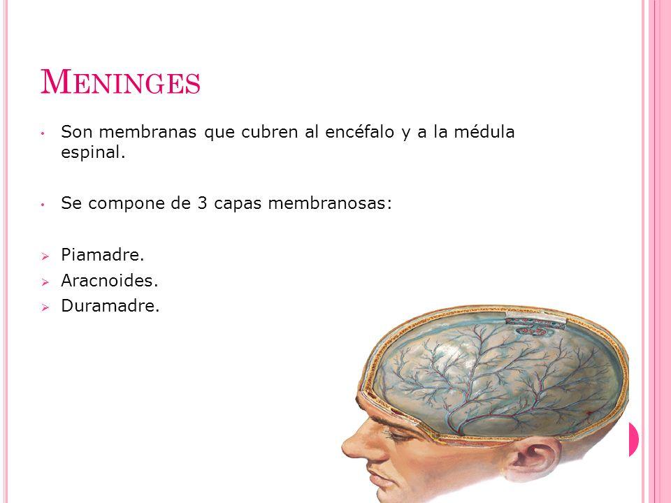 M ENINGES Son membranas que cubren al encéfalo y a la médula espinal. Se compone de 3 capas membranosas: Piamadre. Aracnoides. Duramadre.